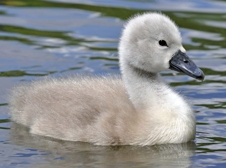 Cygnet from Deposit Photo
