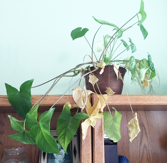 Neglected philodendron